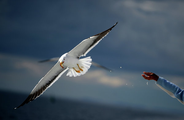 Seagulls are one of the symbols of the Solovetskiye Islands.