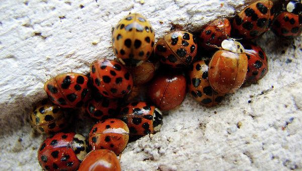 Thousands of Ladybugs Storm Siberian Cathedral