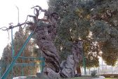 Russian experts will work in Palestine to save the Oak of Mamre mentioned in Bible